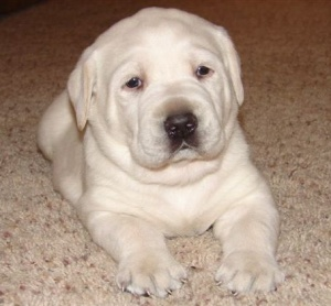 OoooooooOOOOoooo.... a yellow lab puppy!!  So cute!